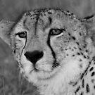 A wild cheetah portrait by Anthony Goldman