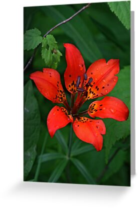 Prairie Wood Lily (Tiger Lily) by Vickie Emms
