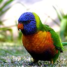 Little Lorikeet by Michelle Ricketts