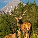 Royal Stag ~ Glen Etive by M.S. Photography/Art