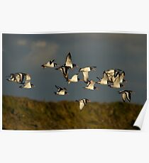 Oystercatchers in flight Poster