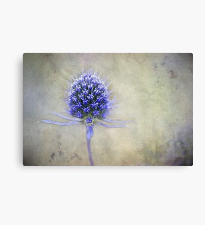 Blue Thistle Canvas Print