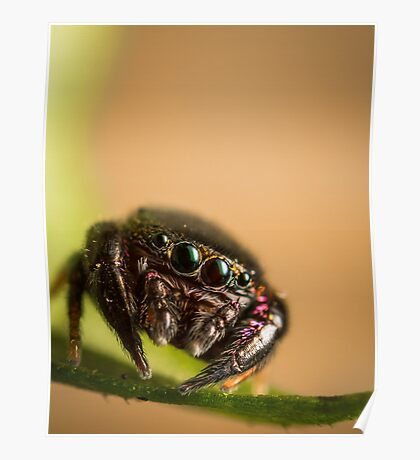 (Simaethula ZZ559) Jumping spider Poster