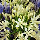 Agapanthus by Sandy1949