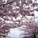 Cherry Blossom Trees by Cole Pickup