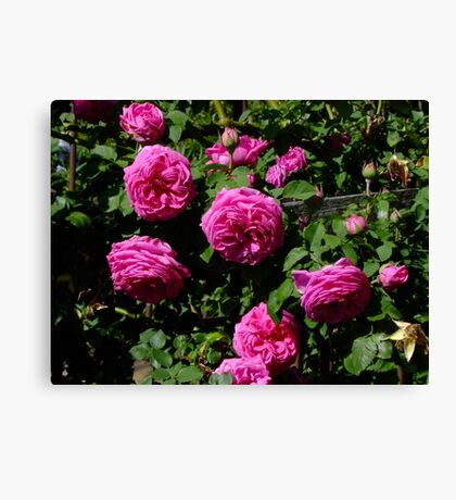 Madame Isaac Periere Rose Canvas Print