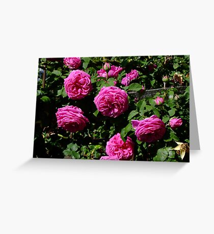 Madame Isaac Periere Rose Greeting Card
