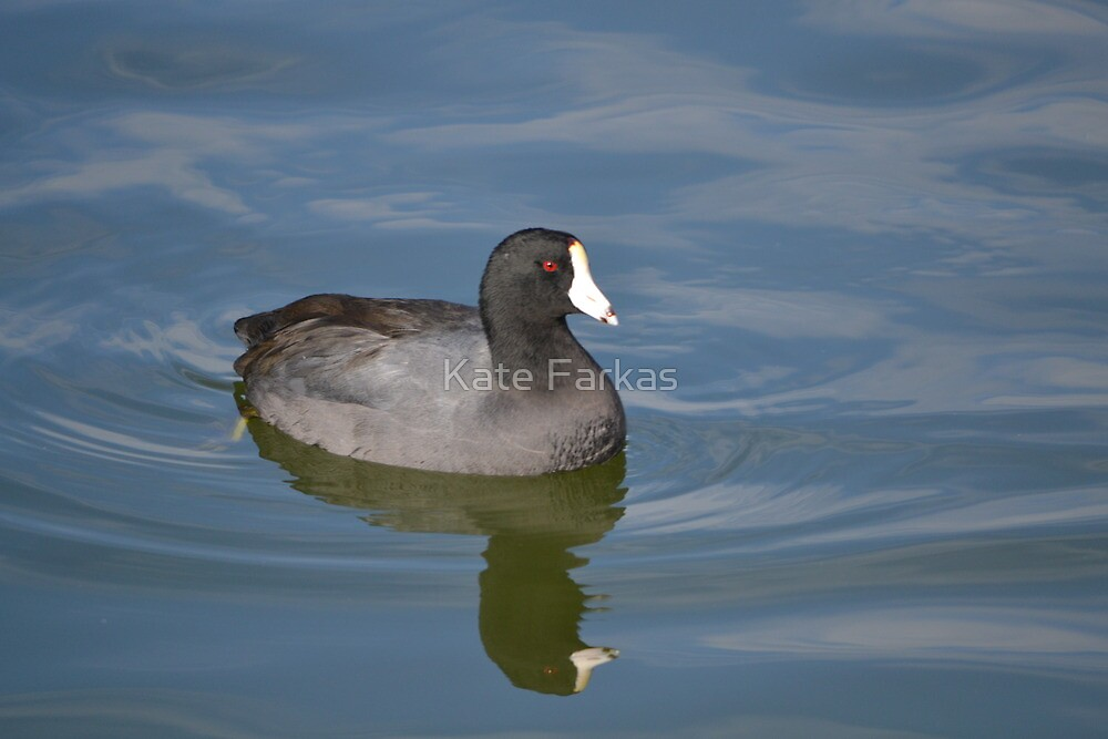 American Coot by Kate Farkas