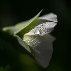 A Sweet Snow Pea by Clare Colins
