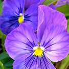 Purple Pansies by Michelle Ricketts