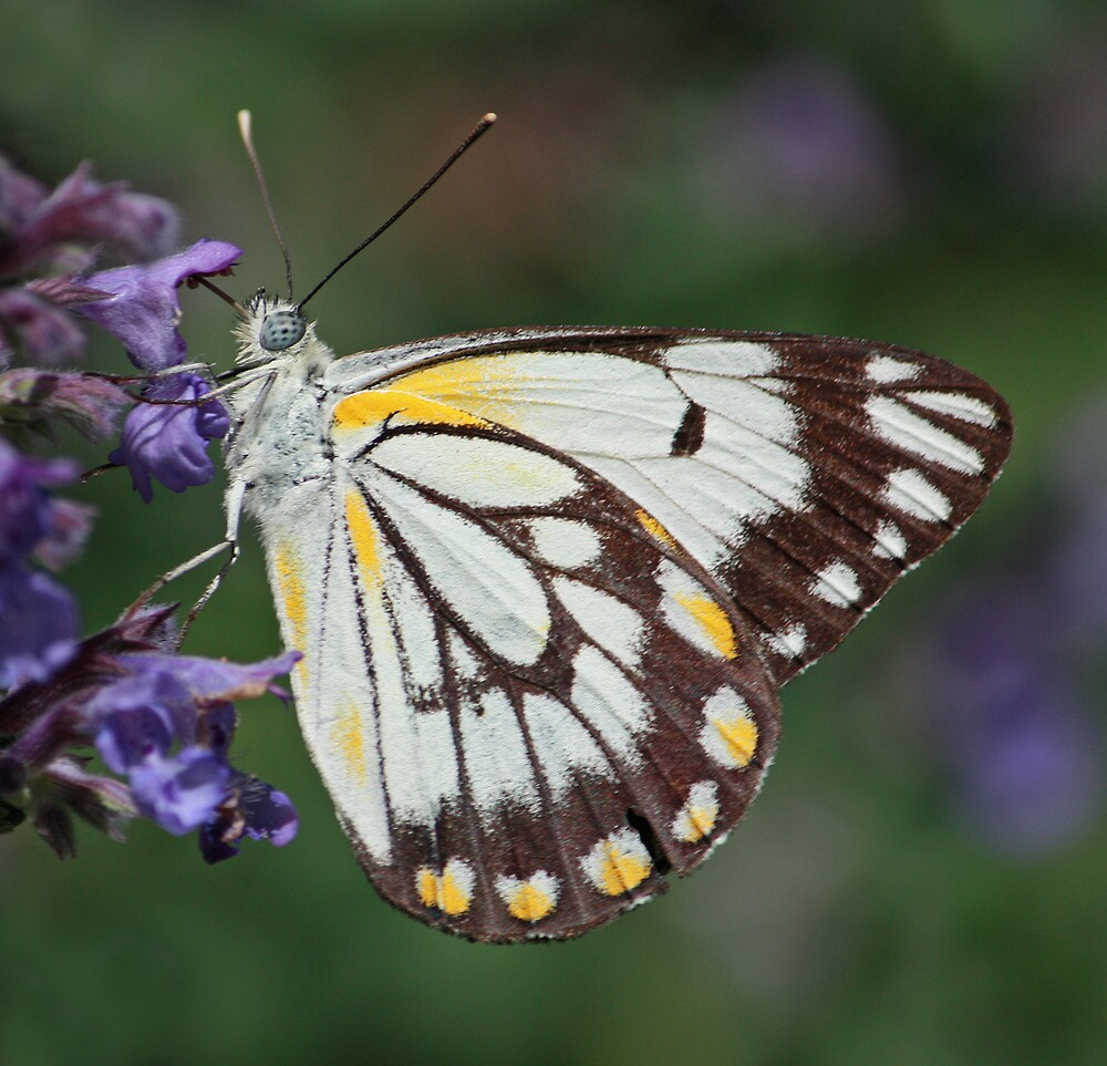 Caper White Bufferfly by TheGreatContini