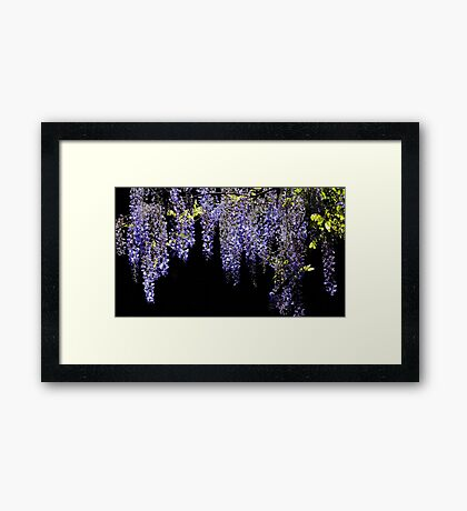 Wisteria Worth Waiting For Framed Print