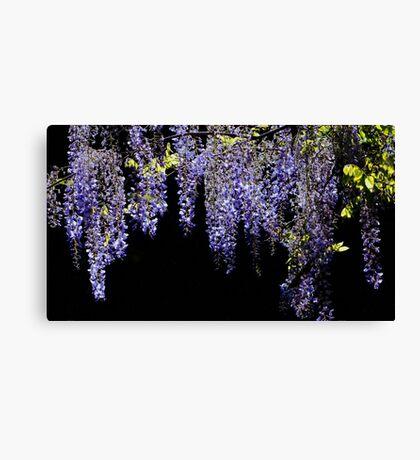 Wisteria Worth Waiting For Canvas Print