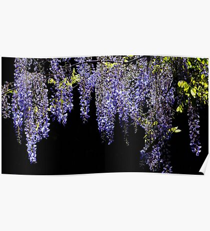 Wisteria Worth Waiting For Poster