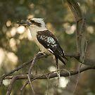 Kookaburra by Amy Dee
