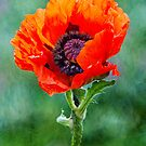 Oriental Poppy by M S Photography/Art