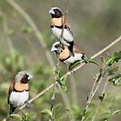 Chestnut-breasted Mannikins by triciaoshea