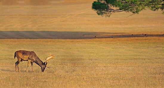 Deer on the grassland by nrasic