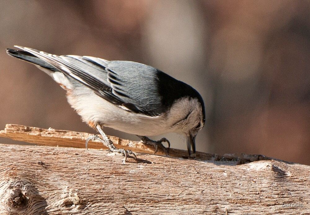 Why they call a Nuthatch a Nuthatch! by barnsis