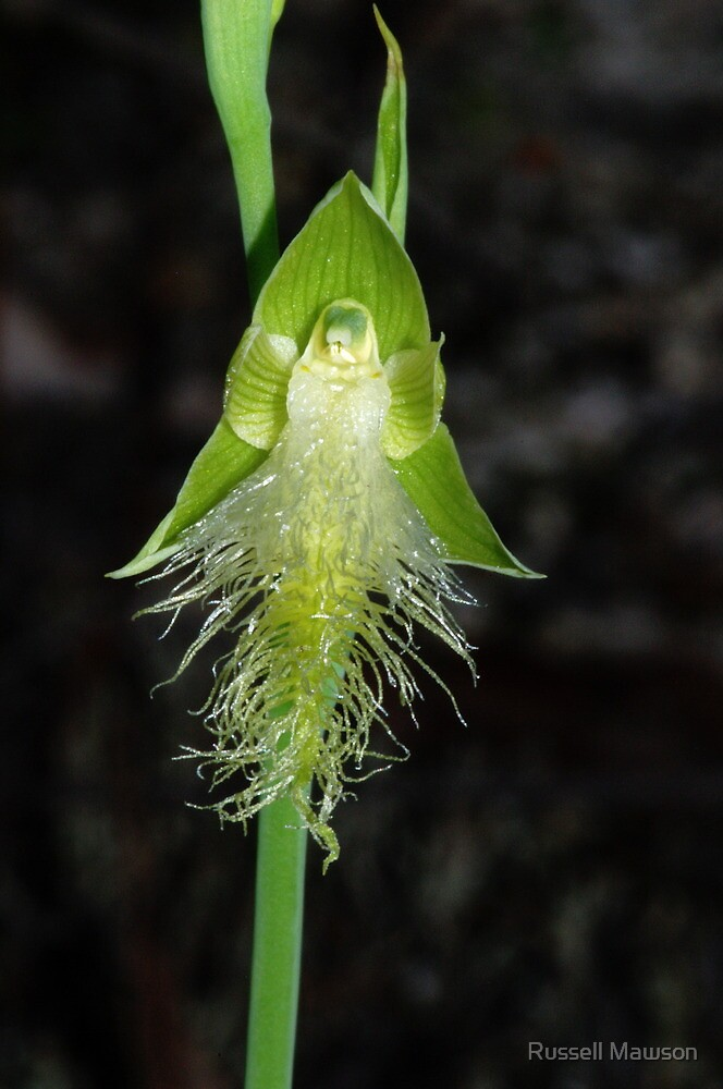 Calochilus robertsonii (White) by Russell Mawson