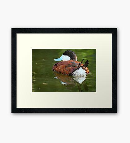 Ruddy Duck Reflections Framed Print
