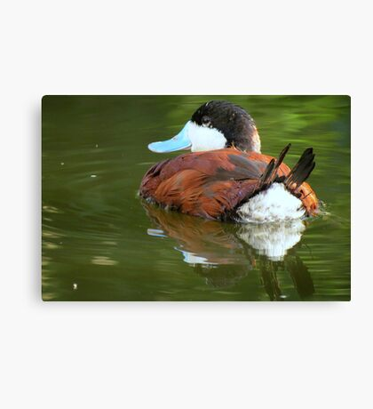 Ruddy Duck Reflections Canvas Print