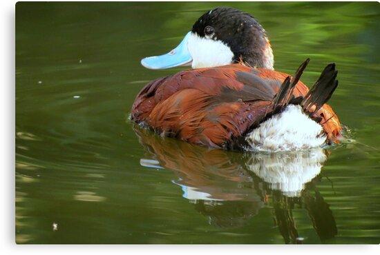 Ruddy Duck Reflections by Kimberly Chadwick