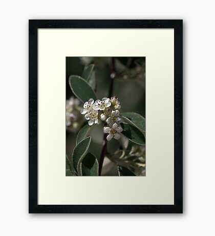 Tiny White Flowers Framed Print