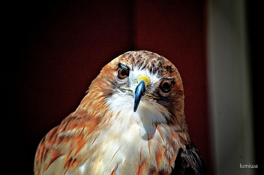 Falcon by lumiwa
