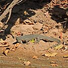 Crocodile, Fitzroy River, Kimberley, Western Australia by Margaret  Hyde