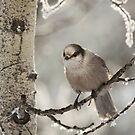 Gray Jay Perisoreus canadensis by Marty Samis