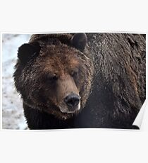 Brown bear, Grouse Mountain Poster