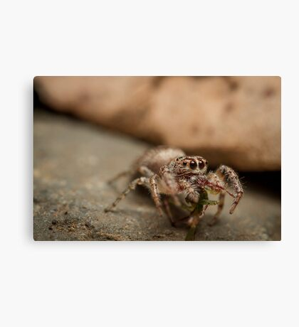 (Servaea vestita) Jumping Spider Feeding Canvas Print