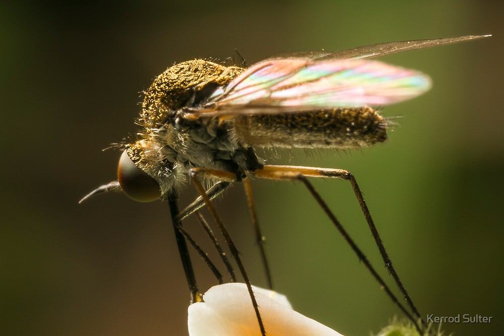 Fly Feeding by Kerrod Sulter