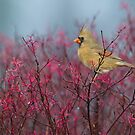 Female Cardinal by (Tallow) Dave  Van de Laar