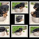 Collage Of Puppy Rottweiler Sitting In Food Bowl by taiche