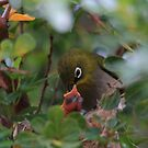 Cape White-eye by croust