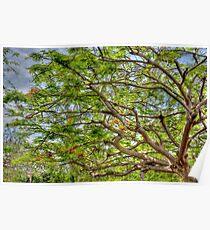 Royal Poinciana Tree in Nassau, The Bahamas Poster
