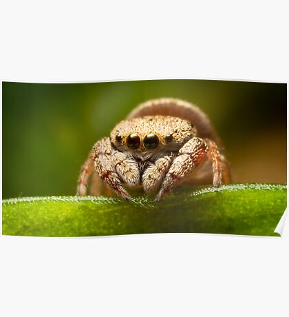 (Simaethula ZZ483) Jumping Spider #2 Poster