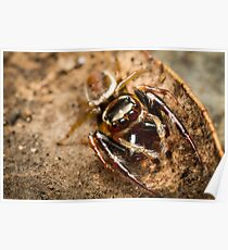 (Opisthoncus polyphemus) Male Jumping Spider Poster