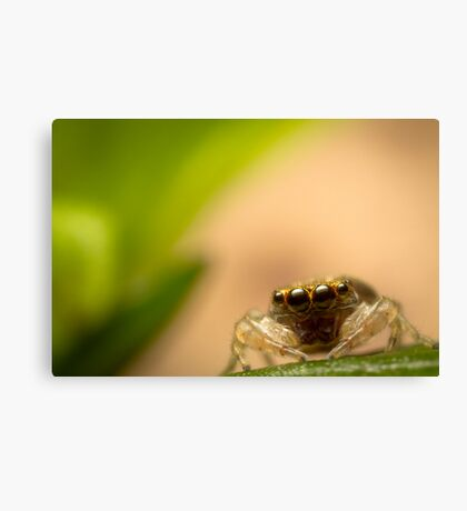 (Astia nodosa?) Jumping Spider Canvas Print