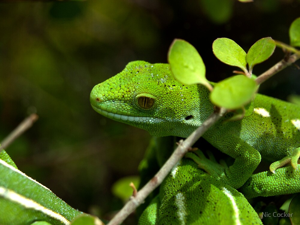 Green Geko by Nic Cocker