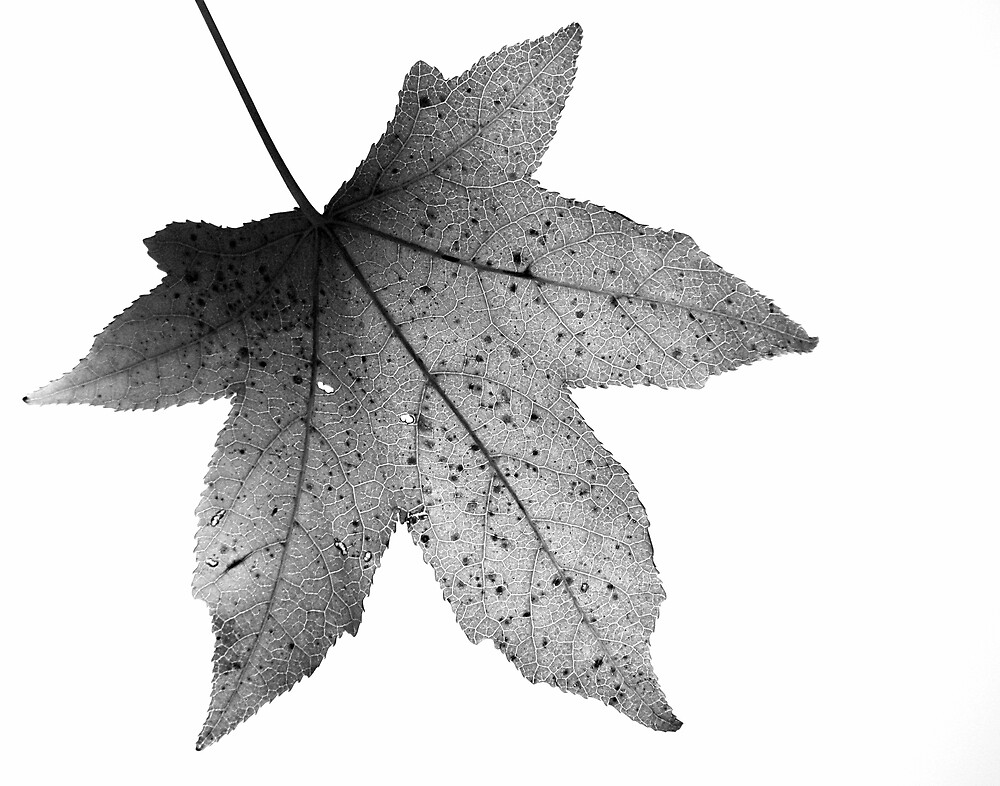 Maple Leaf Monochrome by Roger Easley