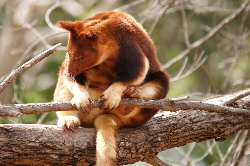 Goodfellow's Tree-Kangaroo by roger smith