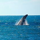 humpback breach. bicheno, tasmania by tim buckley | bodhiimages
