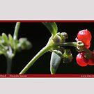 Nodding Saltbush Einardia nutens by Merrilyn Serong