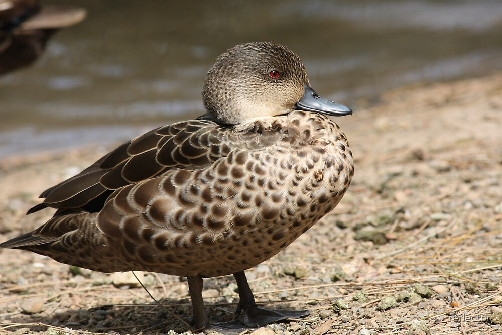 Juvenile Duck by reflector