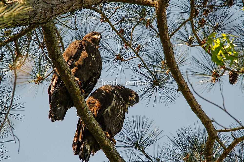Pair of Juvenile American Bald Eagles by Brad Lenear