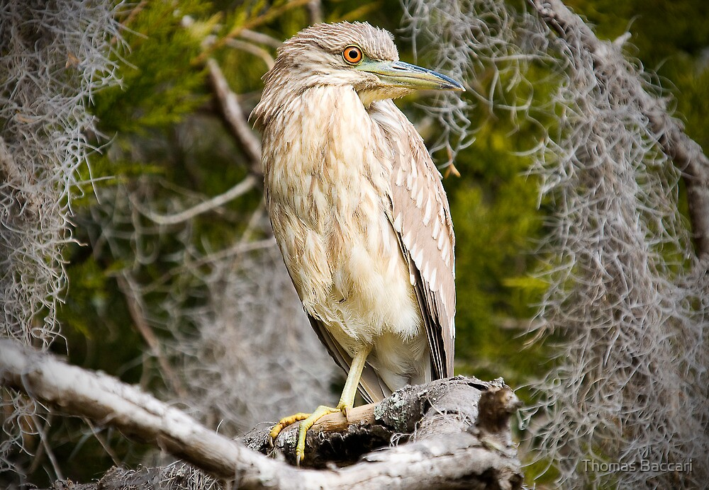 Night Heron Surrounded by Spanish Moss by TJ Baccari Photography