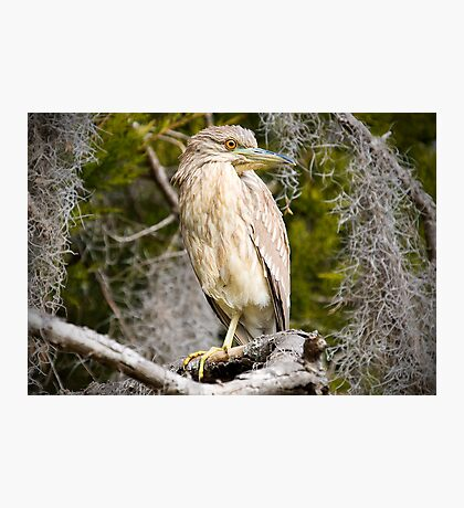 Night Heron Surrounded by Spanish Moss Photographic Print
